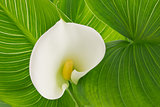 Flower white calla lily (Alepes kalla)
