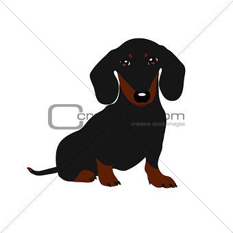 Dachshund dog. Cute puppy on a white background.