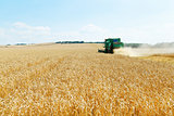 gathering ripe wheat in caucasus region