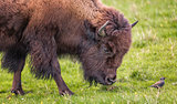Bison Buffalo Portrait