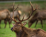 Roosevelt Bull Elk with Antlers, Portrait