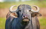 Water Buffalo Looking at the Camera