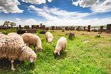 Sheep graze in Noratus