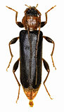Violet Tanbark Beetle on white Background  -  Phymatodes testaceus  (Linnaeus, 1758)