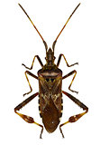 Western Conifer Seed Bug on white Background  -  Leptoglossus oc