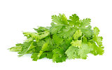 Fresh juicy organic bundle of cilantro