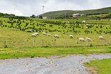 sheep grazing on field of connemara in ireland