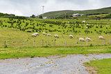 sheep grazing on field of connemara in ireland