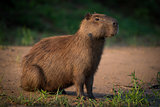 Capybara sitting on beach on river bank
