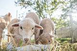 Lambs at the Feeding Pen