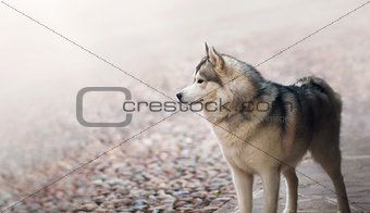 Single dog animal Husky breed standing at