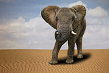 Lone African Elephant Outdoors in Daylight