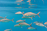 School of greater amberjack (Seriola dumerili)