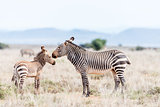 Mountain zebra mare with foal