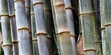 thick bamboo grove
