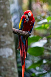 The scarlet macaw - Ara macao