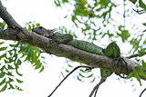 Tropical Iguana in Costa Rica