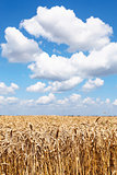 ears of ripe wheat in summer field under blue sky