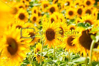 Czech Republic, Southern Bohemia - Field of Sunflowers.