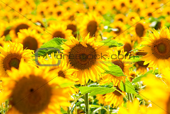 Czech Republic, Southern Bohemia - Field of Sunflowers.