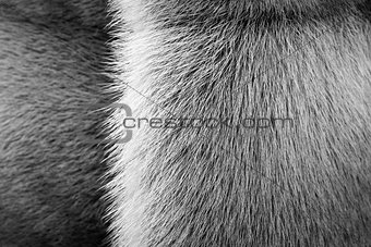 black-white texture of fur animals with a strip