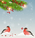 Two bullfinches and green fir