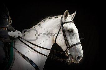 portrait of gray dressage horse on black