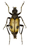 Speckled Longhorn Beetle on white Background  -  Pachytodes cerambyciformis (Schrank, 1781)