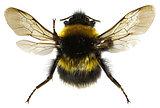 The Garden Bumblebee on white Background  -  Bombus hortorum (Linnaeus,1761)