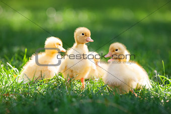 Little cute ducklings on green grass, image with shallow depth of field