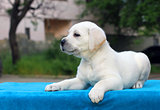 the little cute labrador puppy on a blue background
