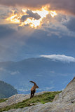 Ibex , Range of Mont-Blanc , French Alps