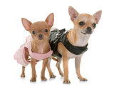 two dressed chihuahuas