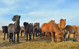 Icelandic horses feeding