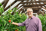 senior man growing tomatoes at farm greenhouse