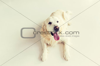 close up of golden retriever dog lying on floor