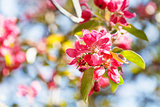 twig of apple tree with pink blossoms close up