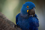 Close-up of hyacinth macaw perched on branch