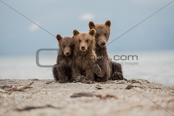 Three sweet cubs of bear