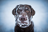 Brown Labrador Retriever looking funny with snow all over her fa
