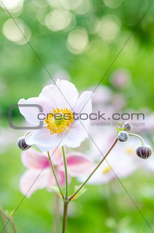 Pale pink flower in the garden, close-up
