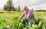 senior man growing white cabbage at farm