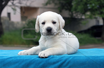 a little cute labrador puppy on a blue background