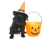 puppy black pug and halloween