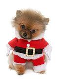 dressed puppy pomeranian dog