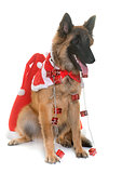 belgian shepherd tervuren and christmas