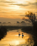Swans and Pevensey Levels Dawn