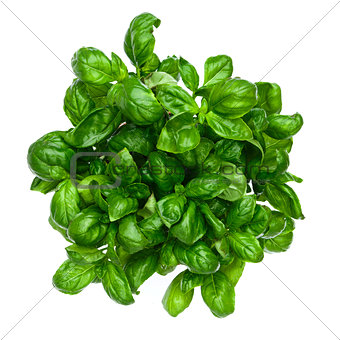 Fresh basil isolated on white bvackground