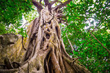 Fig Tree in Cape Tribulation rainforest