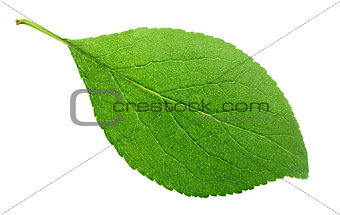 Green plum leaf on white